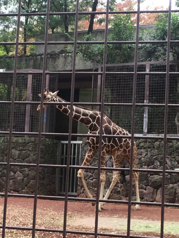 上野動物園のきりん