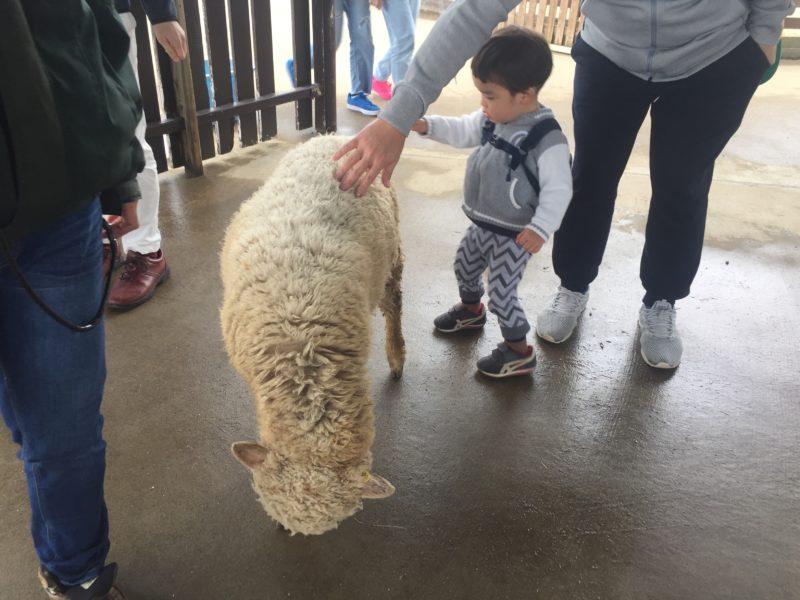 マザー牧場の羊