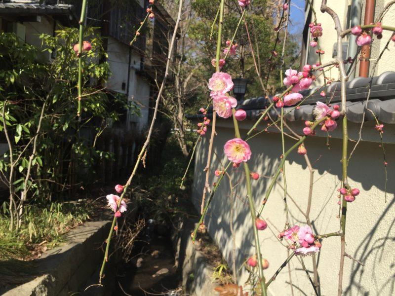 深大寺の梅