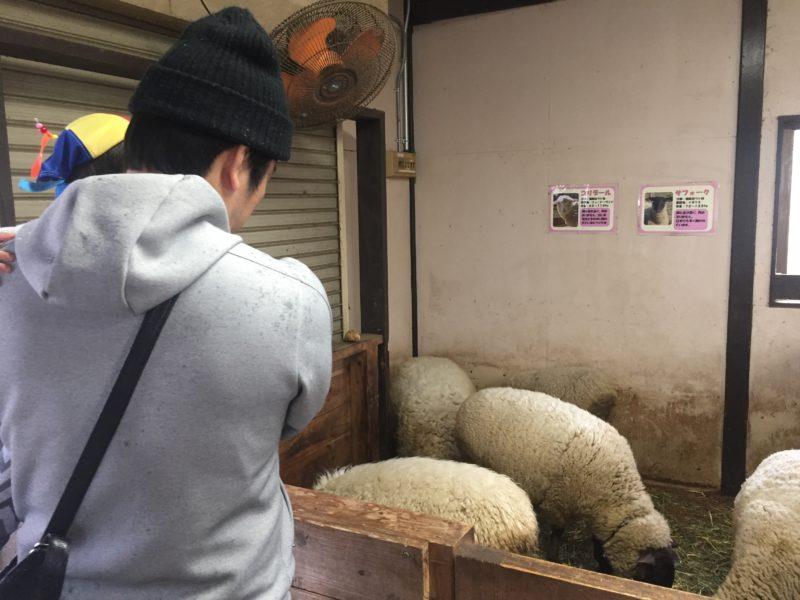 マザー牧場の雨の日の羊