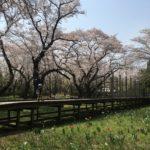 昭和記念公園に2歳の子供連れで行ってきた!お花見レポと混雑状況