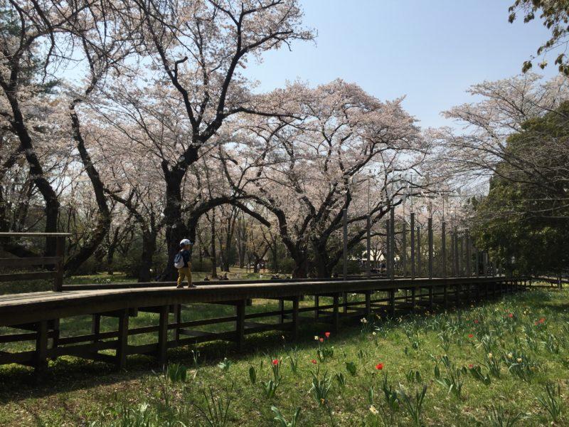 昭和記念公園のお花見